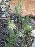 白色开花的杂草接近橙色岩石 库存图片