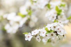 白色开花的树在庭院里 春天开花 开花的树背景特写镜头 免版税图库摄影