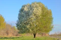 白色开花的樱桃树 免版税库存图片