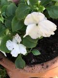 白色开花的盆的植物 库存照片