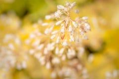 白色开花的矾根属植物厂 图库摄影