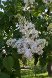 白色开花的花和绿色叶子在庭院里在春天 库存照片