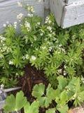 白色开花的花 库存图片