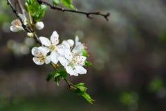 白色开花的芽分支在黑暗的背景的 免版税库存图片