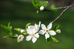 白色开花的芽分支在黑暗的背景的 免版税图库摄影