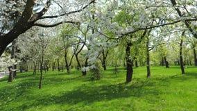 白色开花的苹果树在庭院慢慢地落的瓣的春天 股票视频