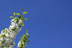 白色开花的苹果树 库存照片