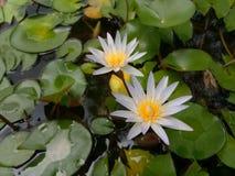 白色开花的莲花在一个小池塘 免版税库存图片
