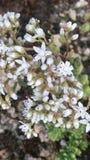白色开花的野花 库存照片