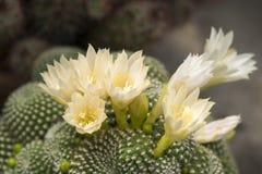 白色开花的仙人掌 免版税库存照片