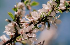 白色开花花和桃红色芽在苹果树在spri分支 库存照片