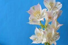白色开花花蓝色背景 库存照片