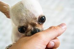白色微型奇瓦瓦狗 库存图片