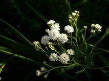 白色微小精美花卉生长在庭院里 免版税图库摄影