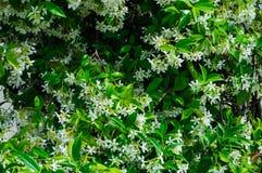 白色忍冬属植物 免版税库存图片