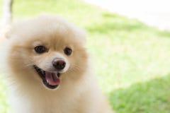 白色愉快小狗pomeranian狗逗人喜爱的宠物的微笑 库存照片
