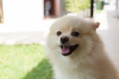 白色愉快小狗pomeranian狗逗人喜爱的宠物的微笑 图库摄影