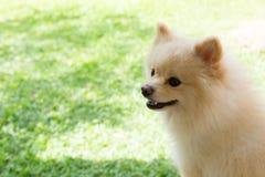 白色愉快小狗pomeranian狗逗人喜爱的宠物的微笑 免版税图库摄影