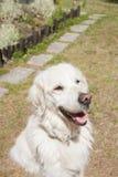 白色愉快的狗金毛猎犬乡下 免版税库存照片