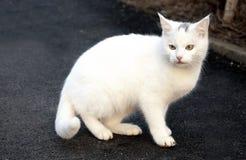 白色户外猫动物美丽的特写镜头哺乳动物 免版税库存照片