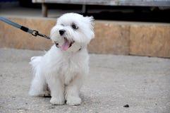 白色打呵欠的供玩赏用的小狗宠物 免版税图库摄影