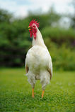 白色打鸣的雄鸡(公鸡) 库存照片