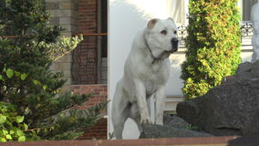 白色护卫犬 4K 影视素材