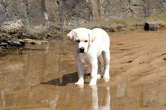 白色拉布拉多小狗 库存照片