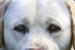 白色拉布拉多猎犬注视凝视入照相机 库存图片