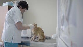 白色拿着他的有她手套的逗人喜爱的服从的姜猫的褂子清洗的眼睛的成熟女性兽医枪口 股票视频