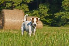 白色教区牧师罗素狗 免版税库存图片