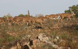 白色斑点鹿 免版税图库摄影