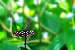 黑&白色斑马Longwing蝴蝶 库存照片
