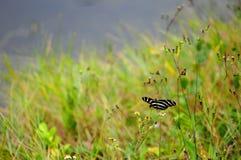 黑&白色斑马Longwing蝴蝶 免版税库存照片