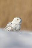 白色斯诺伊猫头鹰, Nyctea scandiaca,当黄色眼睛坐雪在冷的冬天期间 免版税库存图片