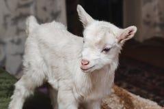 白色新出生goatling在农夫特写镜头房子里  库存图片