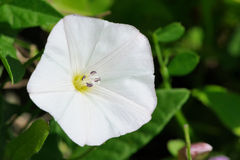 白色旋花植物(野生植物)花特写镜头 库存照片