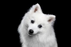 白色日本波美丝毛狗 免版税图库摄影