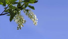 白色春天在蓝天背景开花 免版税库存照片