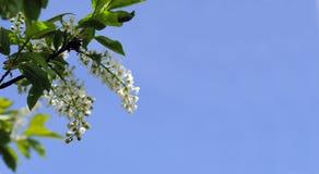 白色春天在蓝天背景开花 库存照片