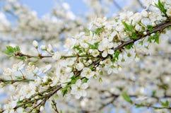 白色春天开花的分支背景  库存照片