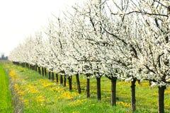 白色春天开花洋李果树园和绿色草甸 图库摄影
