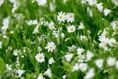 白色春天森林花Caryophillaceae繁缕属 免版税图库摄影