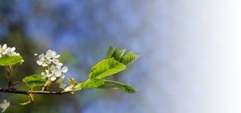 白色春天花和叶子在蓝天背景 免版税库存照片