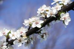 白色春天花开花蓝色背景 免版税库存照片