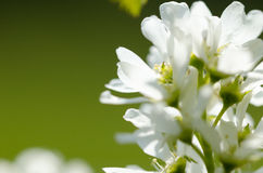 白色春天花 库存图片