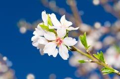 小束白色春天开花 库存照片
