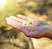 白色春黄菊三朵花  库存照片