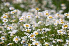 白色春黄菊花自然 免版税图库摄影