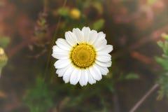 白色春黄菊-在被弄脏的背景的雏菊 免版税库存图片